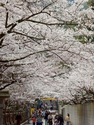 香川の桜の名所「金刀比羅宮 桜馬場」