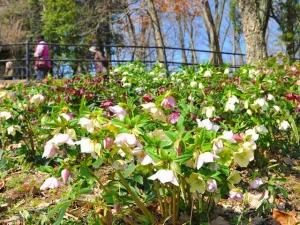 【国営讃岐まんのう公園】早春の花々が楽しめます 「早春フェスタ」