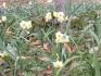 寒空の下、ニホンズイセンが咲き始めました
