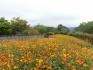 国営讃岐まんのう公園でキバナコスモスが見頃♪~秋!色どりフェスタ